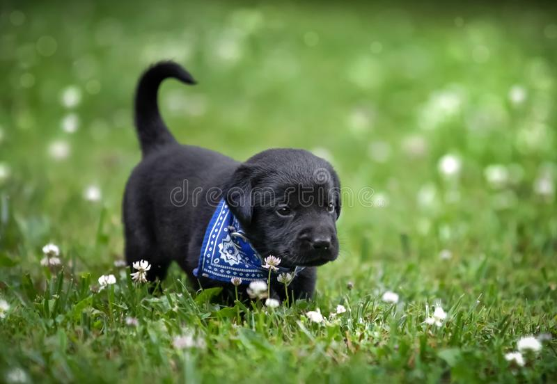 chiot noir de laboratoire photo stock