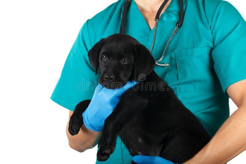 Chiot noir de Labrador images stock