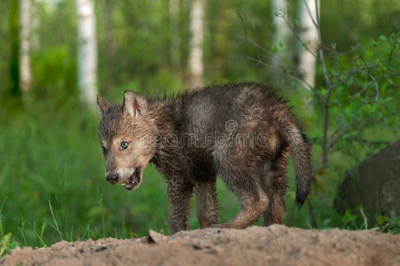 Chiot noir de loup (lupus de Canis) avec le nez sale photos libres de droits