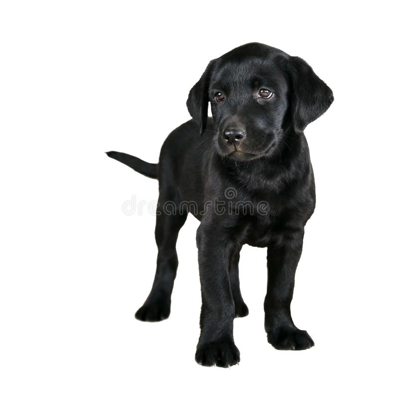 Chiot noir mignon de Labrador photo stock