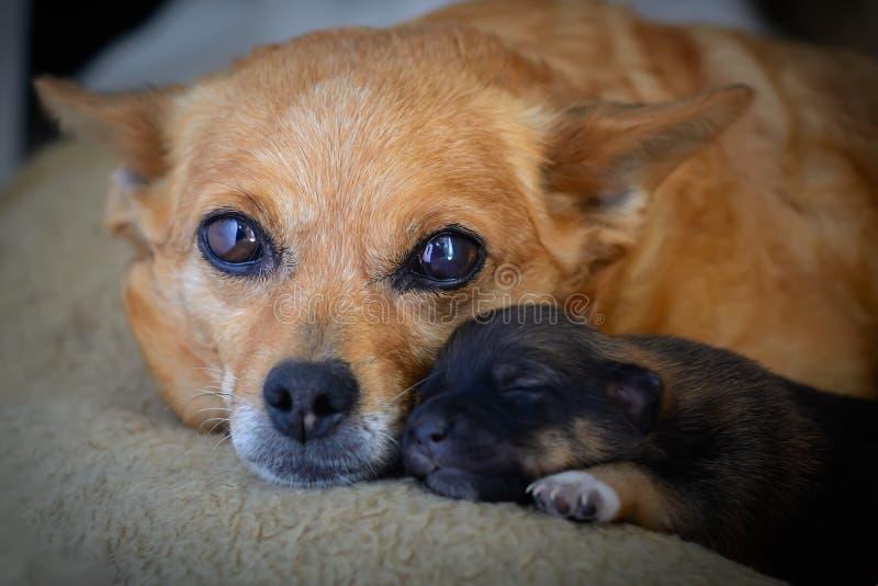Chiot nouveau-né de mère Le concept de l'instinct maternel le problème des chiens égarés image stock