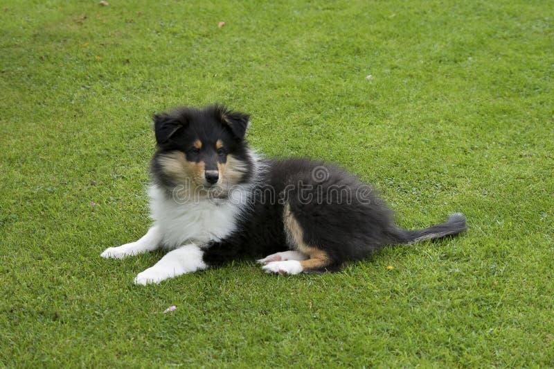 Chiot rugueux de colley sur l'herbe photo libre de droits