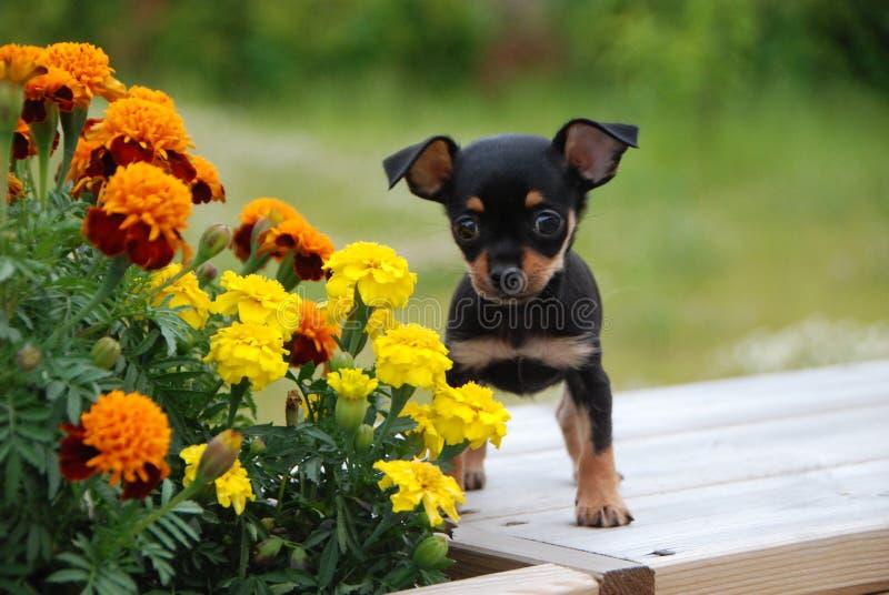 Chiot russe de terrier de jouet avec les fleurs photographie stock