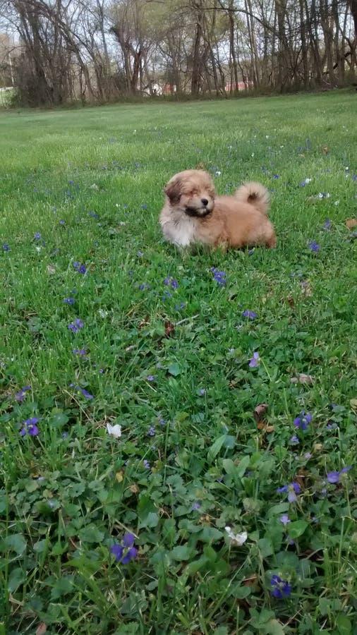 Chiot sur l'herbe images stock