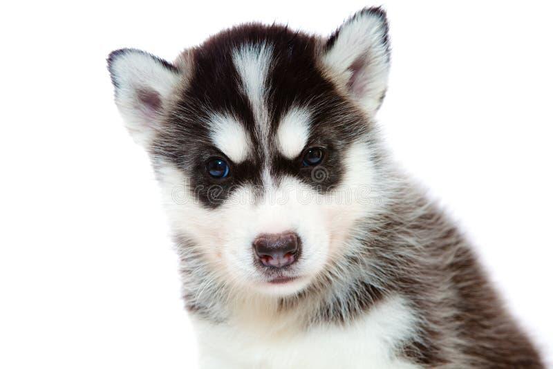Chiot un chien de traîneau, d'isolement. images libres de droits