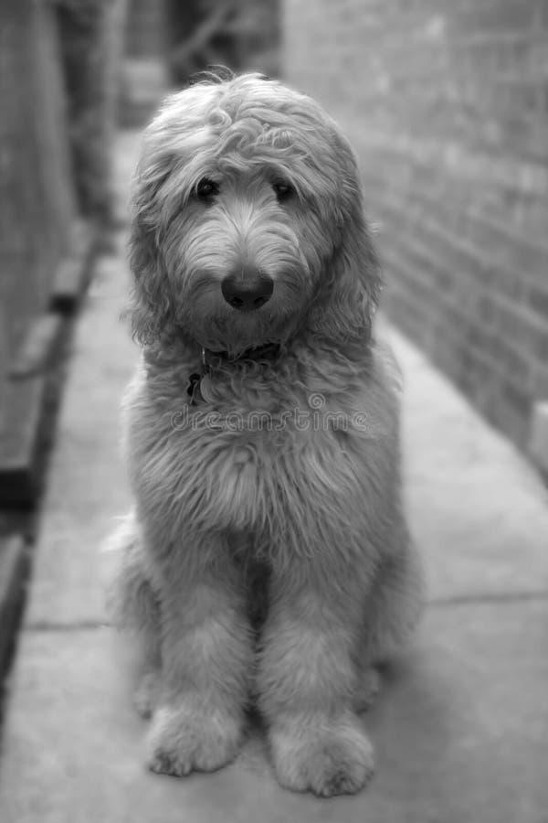 Chiot velu adorable de Goldendoodle dans la gamme de gris image libre de droits