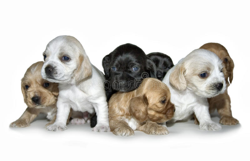 Chiots photographie stock