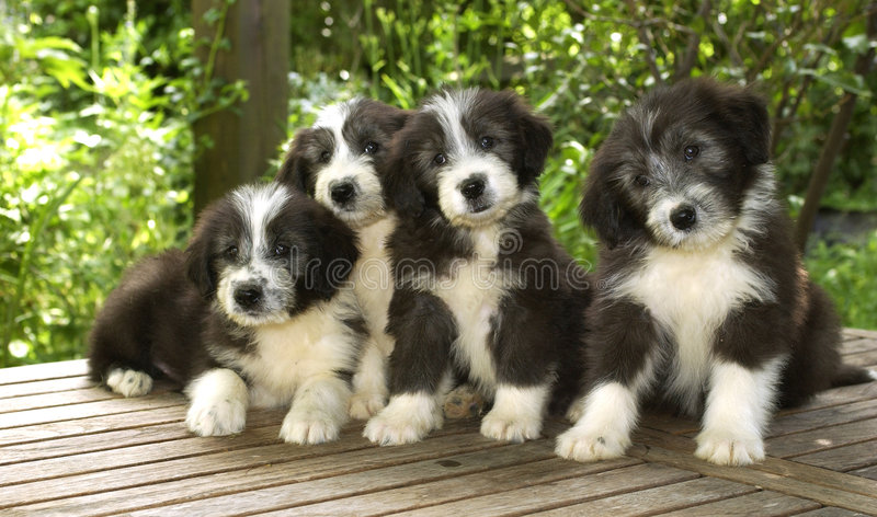 Chiots image stock