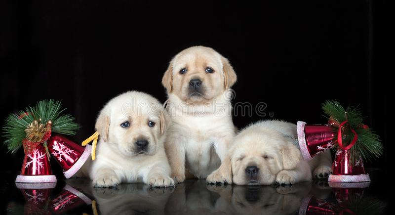 Chiots adorables de Labrador posant sur le fond noir image stock