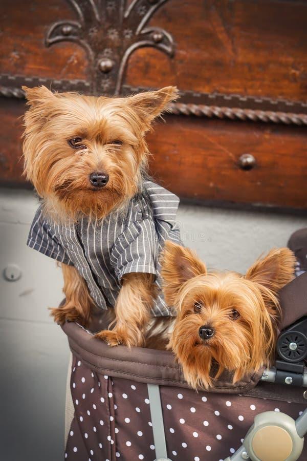Chiots adorables de Yorkshire Terrier dans une poussette photographie stock