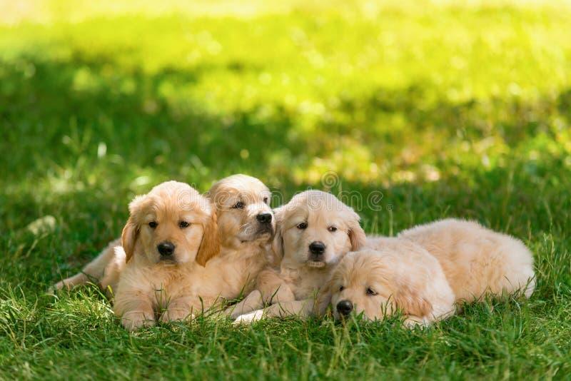 Chiots blonds mignons sur l'herbe image libre de droits