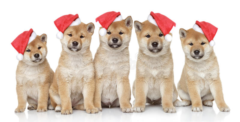 Chiots dans des capuchons de Noël sur un fond blanc photo libre de droits
