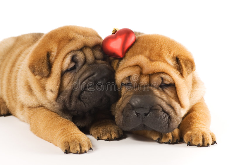 Chiots dans l'amour photo stock