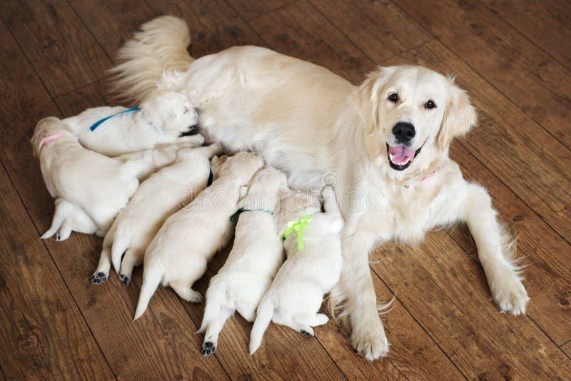 Chiots de alimentation de chien heureux de golden retriever photo stock
