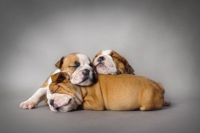 Chiots de bouledogue de sommeil images stock