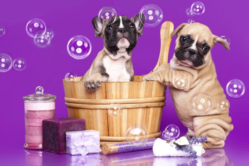 Chiots de bouledogue français et bulle de savon photo libre de droits