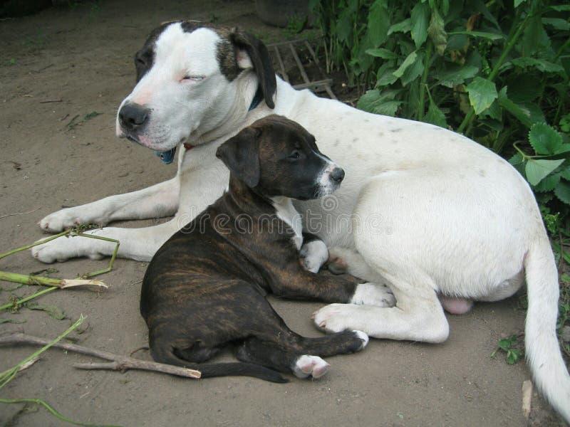 Chiots de chien image libre de droits
