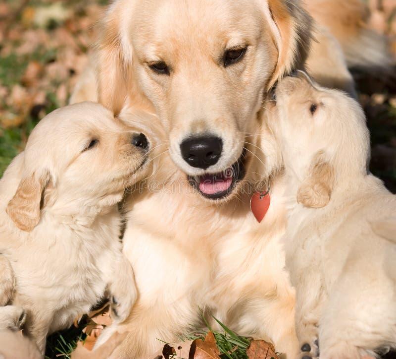 Chiots de chien d'arrêt de Golder avec la mère photo libre de droits
