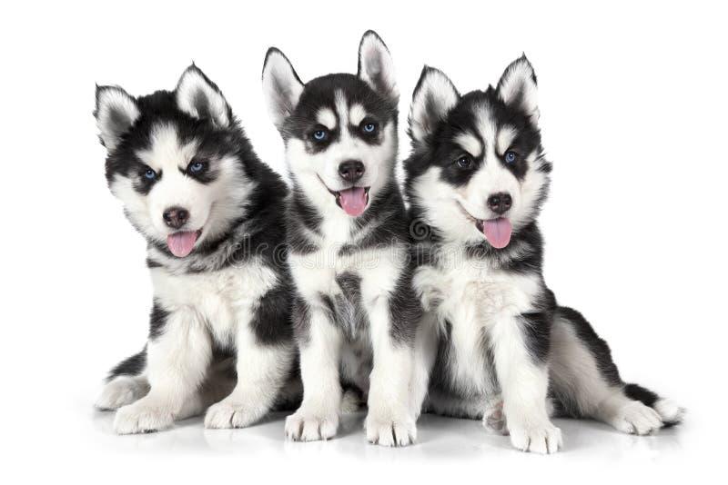 Chiots de chien de traîneau sibérien au-dessus de blanc image libre de droits