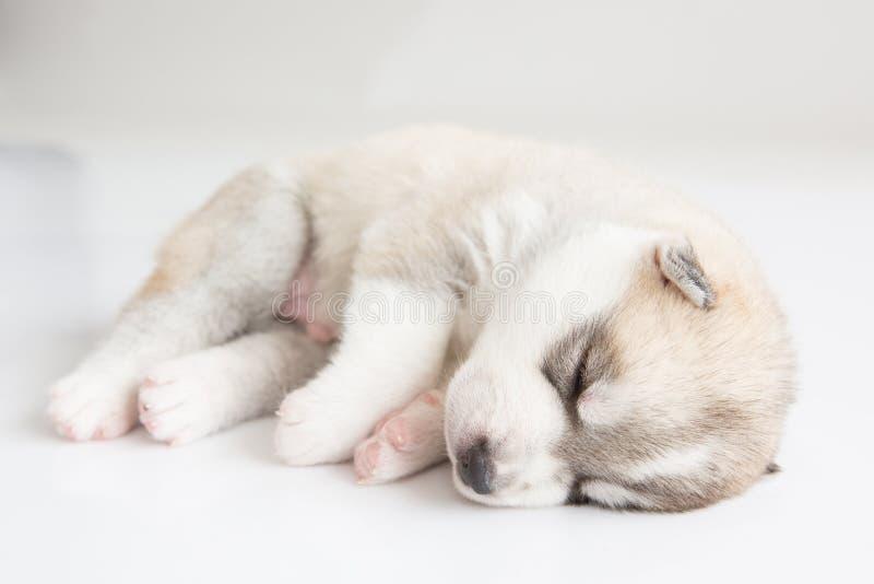 Chiots de chien de traîneau sibérien dormant avec le fond d'isolement photo libre de droits