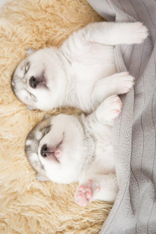 Chiots de chien de traîneau sibérien dormant avec le fond d'isolement photographie stock