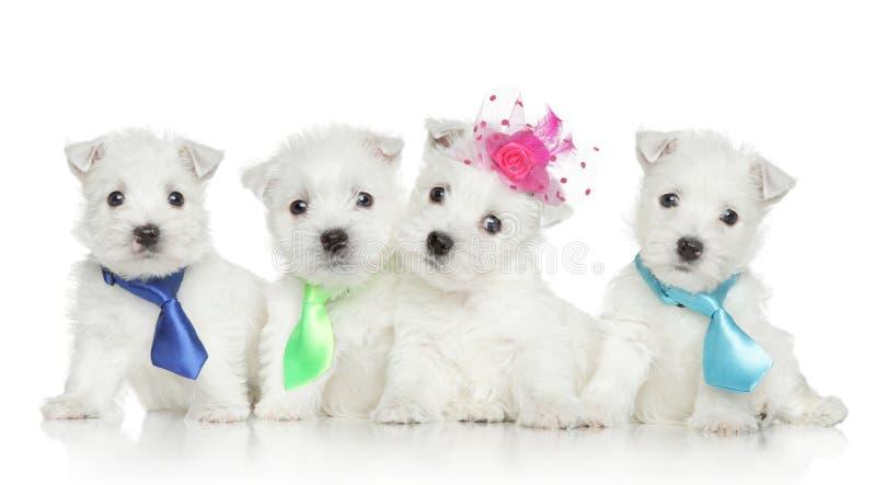 Chiots de chien terrier blanc de montagne occidentale photos stock