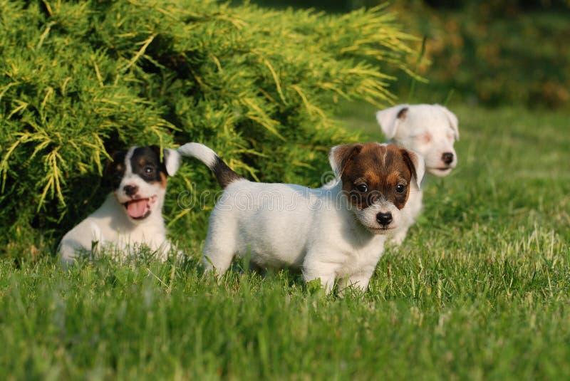Chiots de chien terrier de Jack Russell photos stock