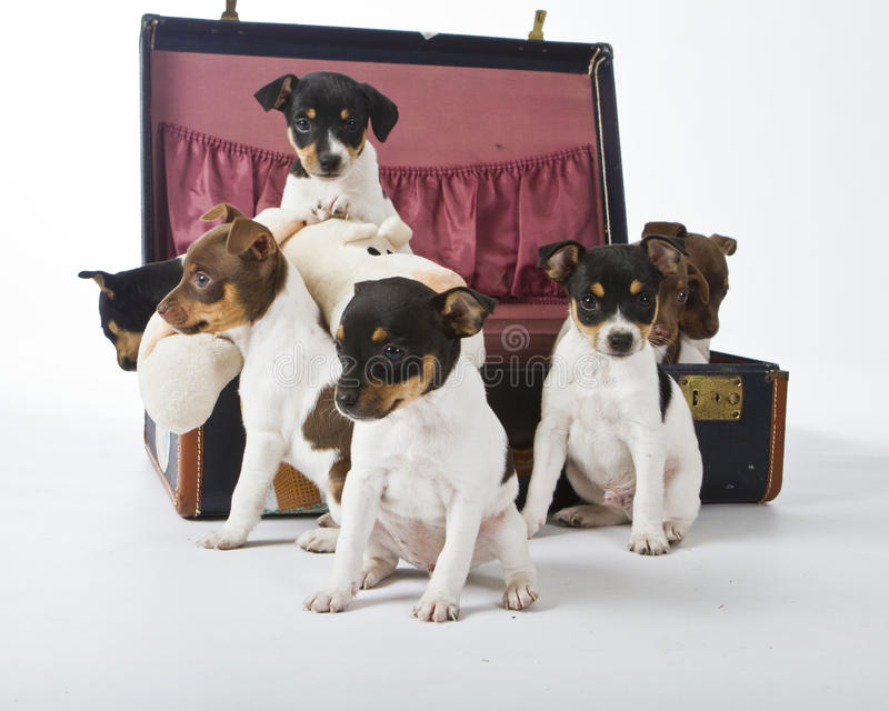Chiots de chien terrier de rat image libre de droits