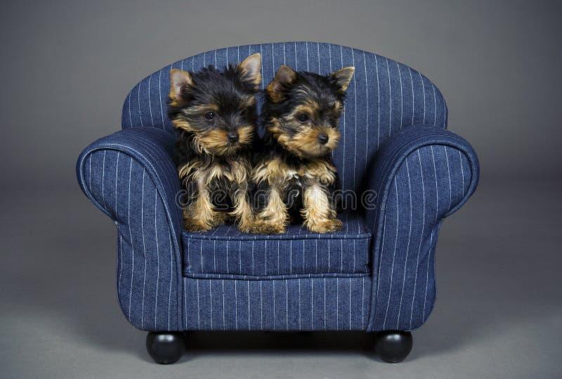 Chiots de chien terrier de Yorkshire images stock