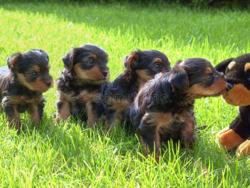 Chiots de chien terrier de Yorkshire photographie stock libre de droits