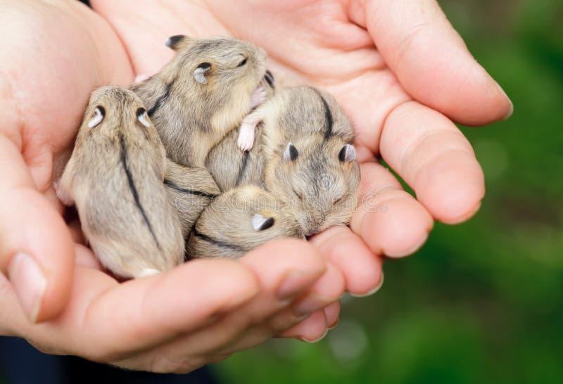 Chiots de hamster photos libres de droits