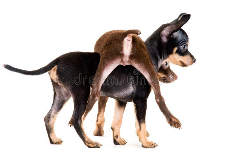 Chiots de jouet-chien terrier dans le studio image libre de droits