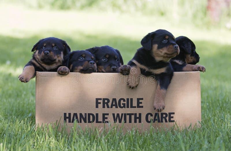 Chiots de Rottweiler images libres de droits