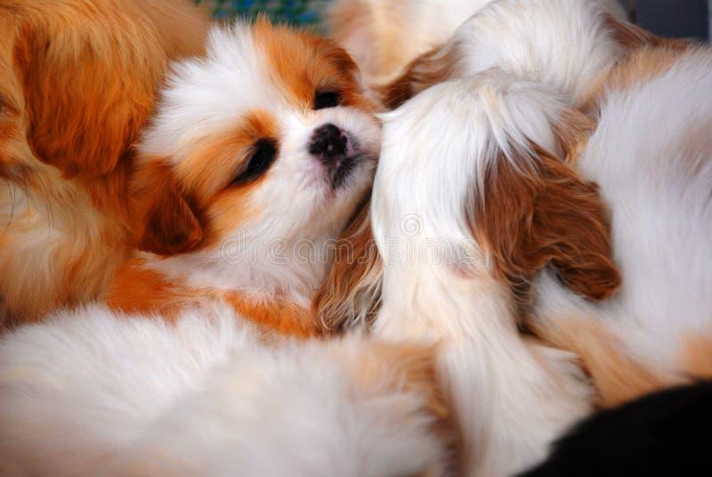 Chiots de sommeil photographie stock