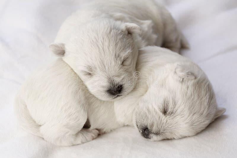 Chiots de sommeil photos libres de droits