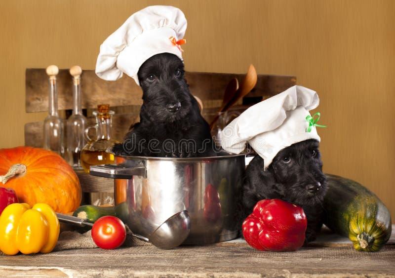 Chiots de terrier écossais images stock
