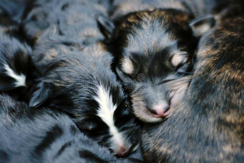 Chiots doux de sommeil images stock