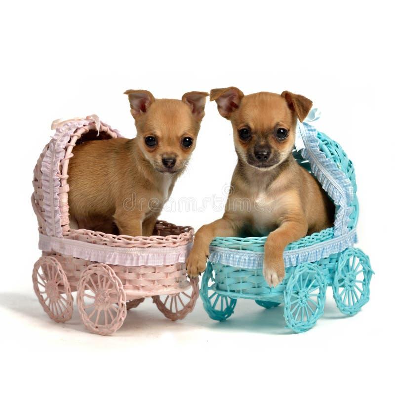 Chiots mâle et chienne dans des voitures d'enfant image libre de droits