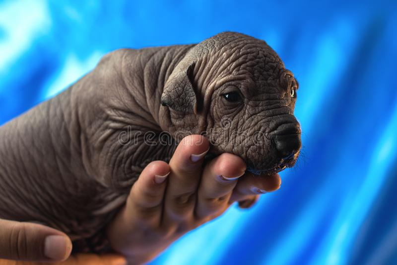 Chiots mexicains de xoloitzcuintle de chien nouveau-né, une semaine de vieux, dans le propriétaire de main un fond bleu image libre de droits