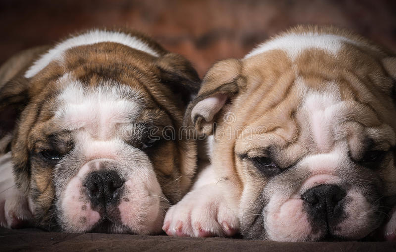 Chiots mignons image stock