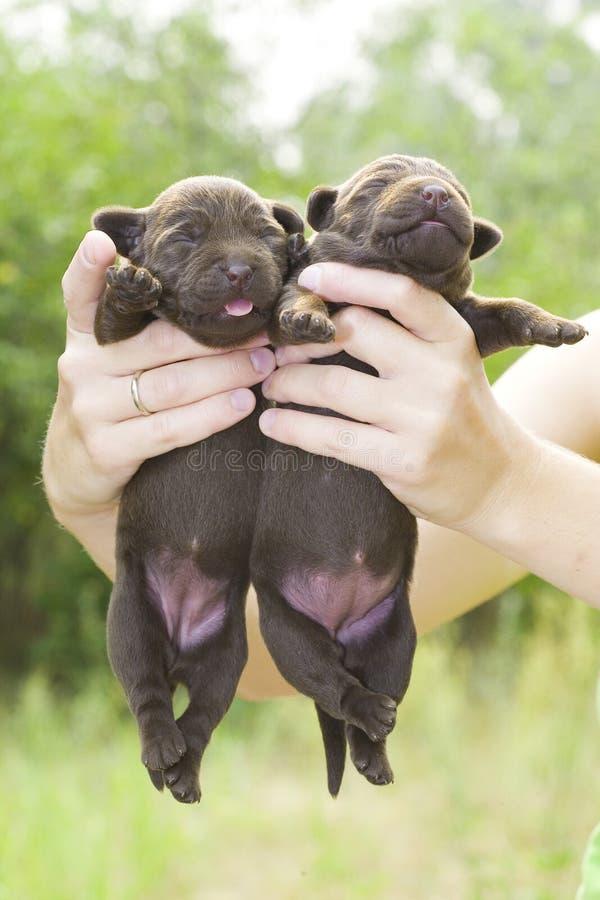 Chiots nouveau-nés image libre de droits