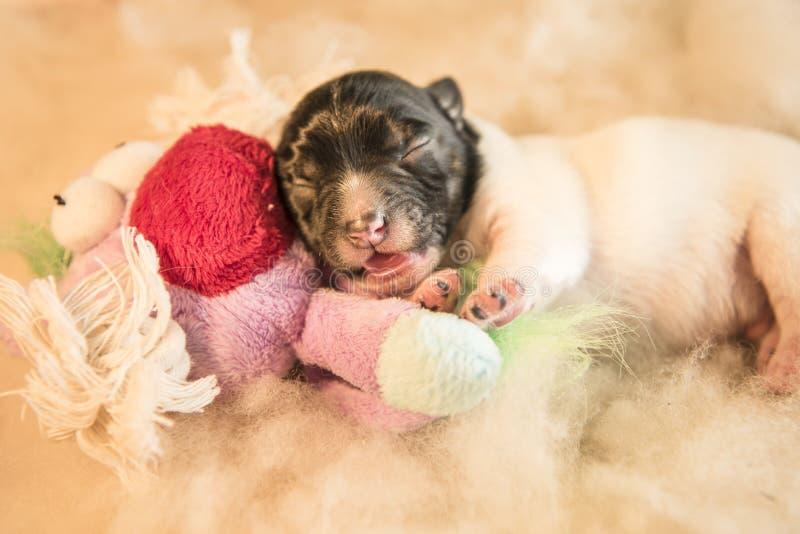 Chiots nouveau-nés avec le jouet - cric datant Russell de trois jours photographie stock libre de droits