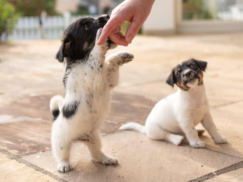 Chiots tricolores mignons de Jack Russell Terrier jouant avec son propriétaire 7,5 chienchiens de semaines jeunes photo libre de droits