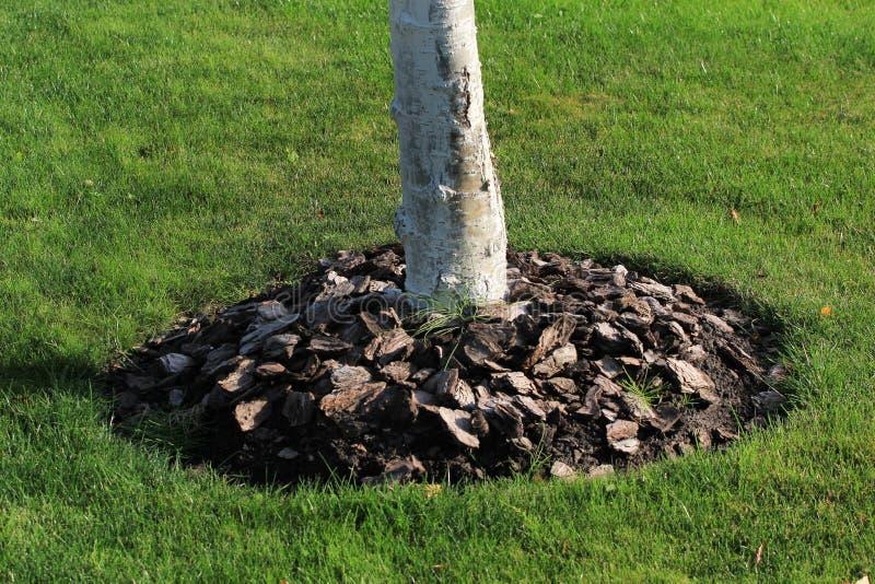 Chip della corteccia di legno usati per la pacciamazione della terra di pacciame intorno al tronco di albero fotografia stock