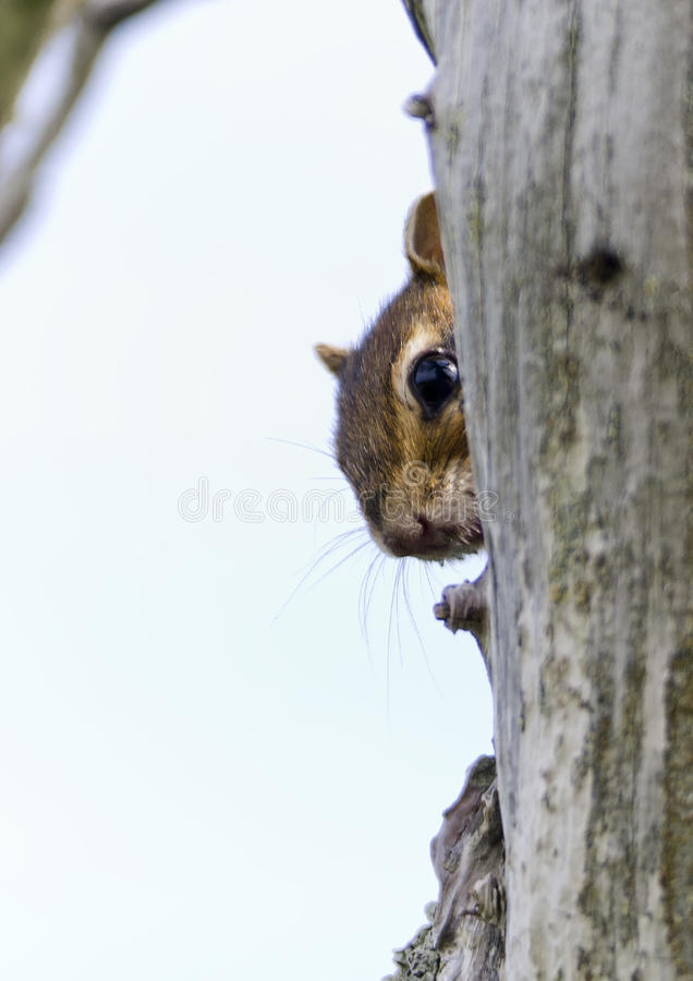 Download Chip Looks Out From Behind The Trunk Of A Dry Tree Royalty Free Stock Photography - Image: 27375967