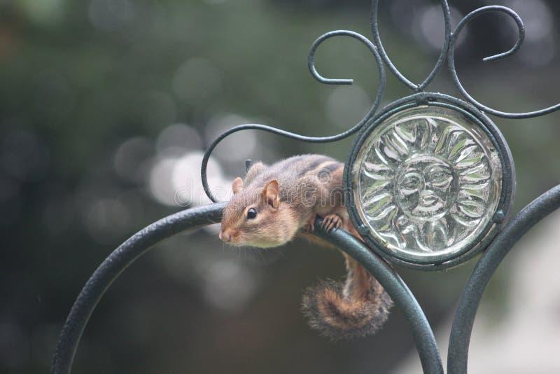 Chipmonk στο φράκτη επεξεργασμένου σιδήρου στοκ φωτογραφίες με δικαίωμα ελεύθερης χρήσης