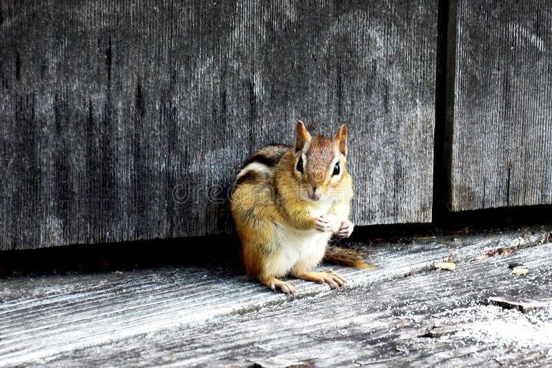 Chipmunk łapiący unawares zdjęcia royalty free