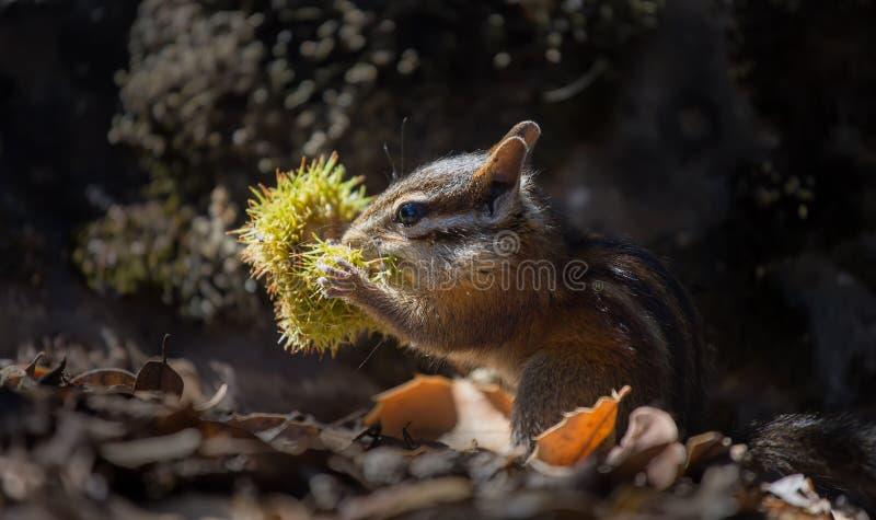 Download Chipmunk stock image. Image of chipmunk, nature, mammal - 26467229