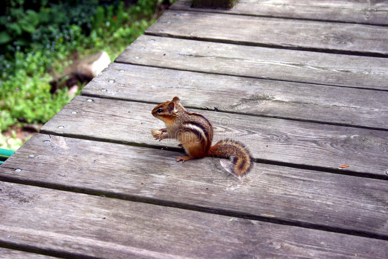 Download Chipmunk stock image. Image of path, board, peanut, outside - 41933