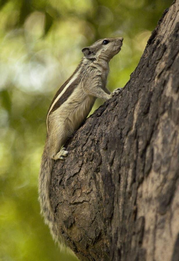 Chipmunk auf dem Baum stockfoto